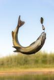 Temolo del pesce Fotografie Stock