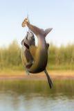 Temolo del pesce Fotografia Stock Libera da Diritti
