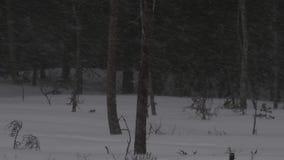 Tempête de neige pendant la saison d'hiver de forêt Cr?puscule de soir?e clips vidéos