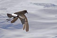 Tempête-pétrel du ` s de Wilson, vol d'oceanicus d'Oceanites photo libre de droits