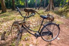 Tempel-Affe auf einem Fahrrad in Angkor Wat Stockfotos