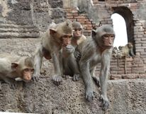 Tempel-Affe-Gruppe stockfotos