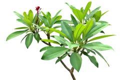 Tempel-Baum, grünes frisches Blatt auf Mittelgruppe verzweigt sich, der weiße lokalisierte Hintergrund Lizenzfreie Stockbilder