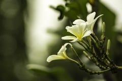 Tempel-Baum, Pagodenbaum, Lei Flower lizenzfreie stockfotografie