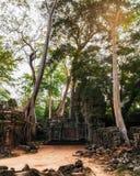 Tempel för Ta Prohm med det jätte- banyanträdet på solnedgången Angkor Wat, Cambodja Royaltyfri Fotografi