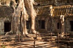 Tempel för Ta som Prohm är bevuxen med träd Royaltyfri Bild