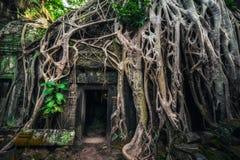 Tempel för Ta Prohm med det jätte- banyanträdet på solnedgången Angkor Wat, Cambodja Royaltyfria Bilder