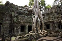 Tempel Ta-Prohm, Angkor Wat Stockbilder