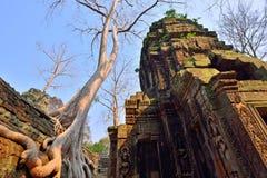 Tempel Ta Prohm mit großem Baum und Wurzeln Stockfotografie
