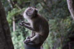 Tempelaffe, der im Dschungel von Wat Thama Sua, Krabi, Tha sitzt Lizenzfreies Stockbild