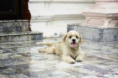 Tempelhund Fotografering för Bildbyråer