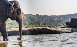 Tempelolifant ongeveer om een Rivierbad te nemen royalty-vrije stock afbeelding