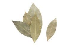 Tempera as folhas de louro isoladas no fundo branco Fotos de Stock