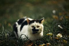 Temperamental homeless cross-eyed squint spotty cat looks at you in on green grass stock image