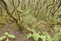 Temperate laurel forest Tenerife Canary Islands. Moss and lichen covered trees. Evergreen laurel forest, Anaga Rural Park in the northeast of Tenerife Canary royalty free stock photo