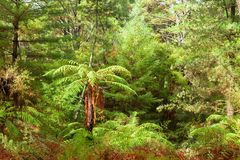 Temperate rain forest with fern trees, North Island, New Zealand Stock Photos