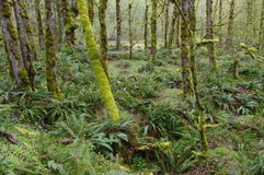 Temperate rain forest Stock Photography