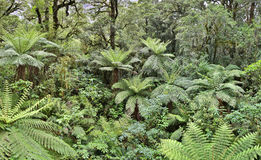 Temperate Rainforest with fern trees (Fjordland, New Zealand) royalty free stock images