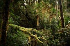Temperate rainforest, Gordon River. Temperate rainforest beside the Gordon River, on Tasmania's rugged west coast Stock Images