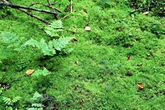 Temperate rainforest groundcover. Small leaved groundcover blankets the soil surface in the Pacific northwestern united states royalty free stock photo