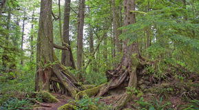 Temperate Rainforest on the Pacific Coast Stock Image