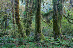 Temperate rainforest of Pacific Northwest. Moss covered trees in hall of mosses, hoh rainforest, olympic national park Stock Photography