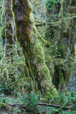 Temperate rainforest of Pacific Northwest. Moss covered trees in hall of mosses, hoh rainforest, olympic national park Stock Photos