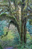 Temperate rainforest of Pacific Northwest. Moss covered trees in hall of mosses, hoh rainforest, olympic national park Stock Image