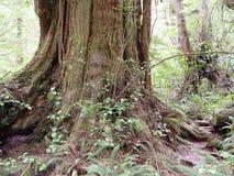 Temperate Rainforest of Tofino Royalty Free Stock Photo