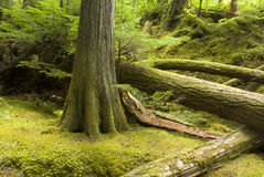 Temperate rainforest and undergrowth. In Strathcona Provincial Park Vancouver Island British Columbia Stock Photos