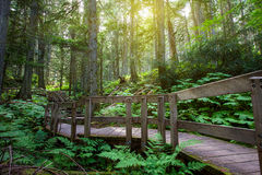 Temperate Rainforest. Wooden path through temperate rain forest. Pacific Rim National Park Royalty Free Stock Photos
