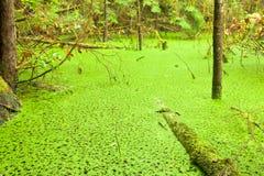 Tropikalny las deszczowy bagna wildernis zachodnie wybrzeże BC Obrazy Stock