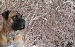 Temperatura del aire más de veinticinco grados debajo de cero Retrato del primer del perro de la raza rara Boerboel surafricano Fotos de archivo libres de regalías