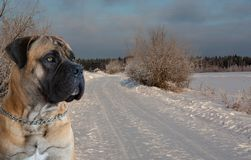 Temperatura del aire más de veinticinco grados debajo de cero Retrato del primer del perro de la raza rara Boerboel surafricano Imágenes de archivo libres de regalías