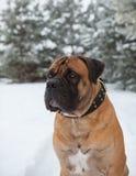 Temperatura del aire más de veinticinco grados debajo de cero Retrato del primer del perro de la raza rara Boerboel surafricano Fotografía de archivo