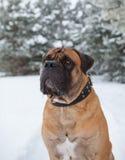 Temperatura del aire más de veinticinco grados debajo de cero Retrato del primer del perro de la raza rara Boerboel surafricano Foto de archivo libre de regalías