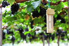 Temperature grape garden control by thermometer Royalty Free Stock Photography