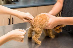 Temperature of a puppy being taken by a vet at a clinic. Temperature of a poodle puppy being taken by a vet at a clinic royalty free stock photo