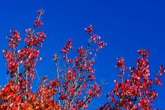 Tempere a mudança, folhas de outono vermelhas com fundo do céu azul Imagem de Stock