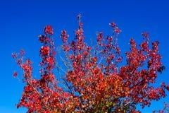 Tempere a mudança, folhas de outono vermelhas com fundo do céu azul Foto de Stock