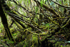 Tempered rainforest in Tasmania Royalty Free Stock Image