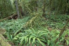 Tempererad regnskog Royaltyfri Fotografi
