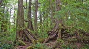tempererad Stillahavs- rainforest för kust Fotografering för Bildbyråer
