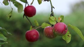 Tempesta e gocce di pioggia sulle mele rosse stock footage