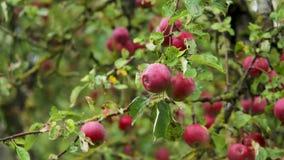 Tempesta e gocce di pioggia sulle mele rosse video d archivio