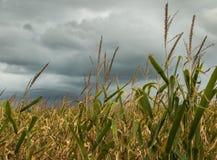 Tempestade no campo de milho Fotografia de Stock Royalty Free