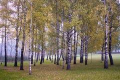 Tempi di autunno del boschetto della betulla Fotografia Stock Libera da Diritti