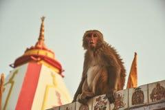 Tempio della scimmia in India, Rishikesh Fotografia Stock Libera da Diritti