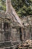 Tempio di Prohm di tum in Angkor Wat, albero alle rovine del tempio, Cambodi fotografia stock libera da diritti