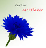 Template card with cornflower Stock Photo